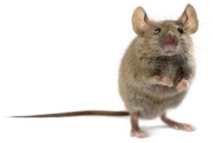 Mouse Stimulation